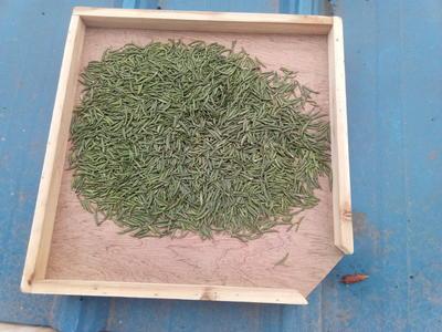 四川省雅安市雨城区竹叶青茶 散装 特级