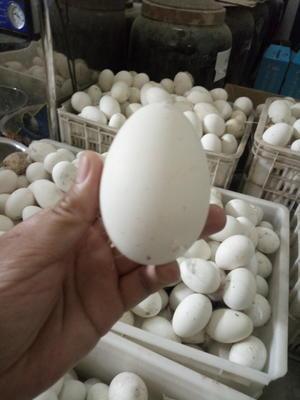 这是一张关于鲜鹅蛋 食用 散装的产品图片