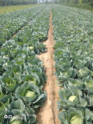 山西省晋中市榆次区绿甘蓝 1.5~2.0斤
