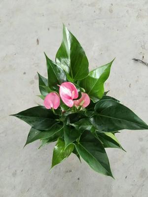 这是一张关于粉掌盆栽的产品图片