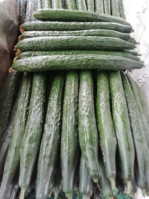 山东省临沂市兰陵县刺黄瓜 22~25cm 鲜花带刺