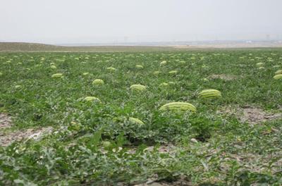 这是一张关于硒砂瓜 有籽 1茬 9成熟 7斤打底的产品图片
