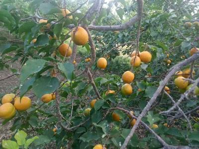 新疆维吾尔自治区巴音郭楞蒙古自治州库尔勒市小红杏 45mm以上
