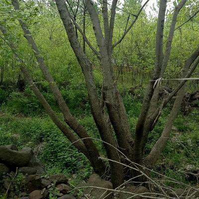 安徽省滁州市来安县丛生朴树