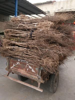 河阴软籽石榴树苗