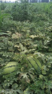 这是一张关于京欣西瓜 有籽 1茬 9成熟 4斤打底的产品图片