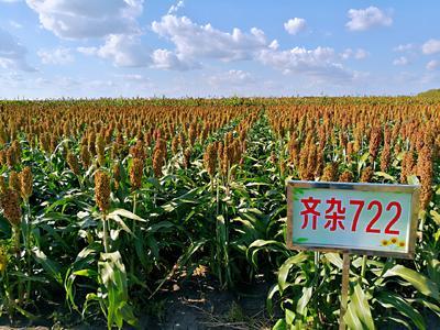 黑龙江省哈尔滨市双城市齐杂722 霉变 ≤1% 1等品