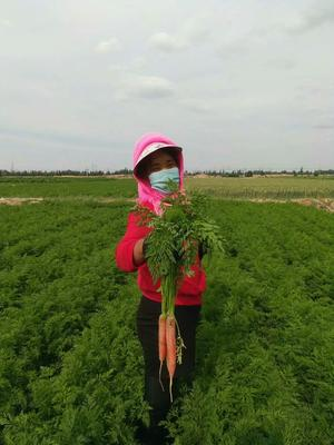 甘肃省武威市古浪县长红胡萝卜 15cm以上 2两以上 3~4cm