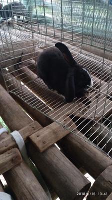 贵州省黔南布依族苗族自治州罗甸县比利时兔 5斤以上