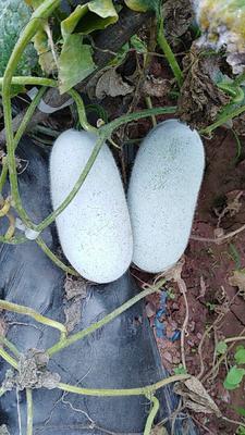 云南省玉溪市峨山彝族自治县小香冬瓜 2斤以上 白霜