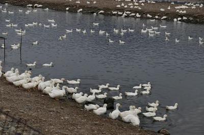 广东省湛江市霞山区白鸭 统货 半圈养半散养 8-9斤