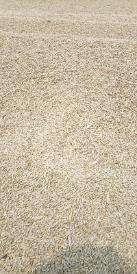 天津宝坻区皮大麦