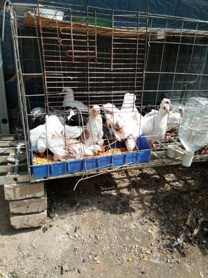 这是一张关于肉鸽 500-600克的产品图片