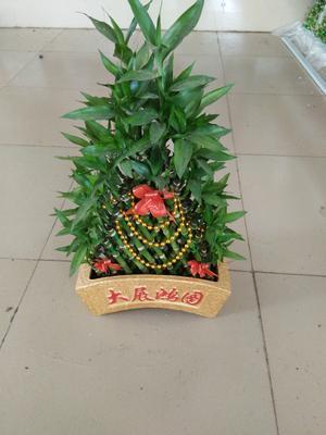 云南省昆明市呈贡区富贵竹