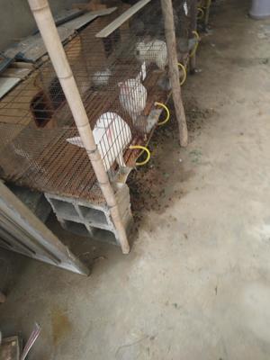 安徽省宿州市砀山县獭兔种兔 3-5斤