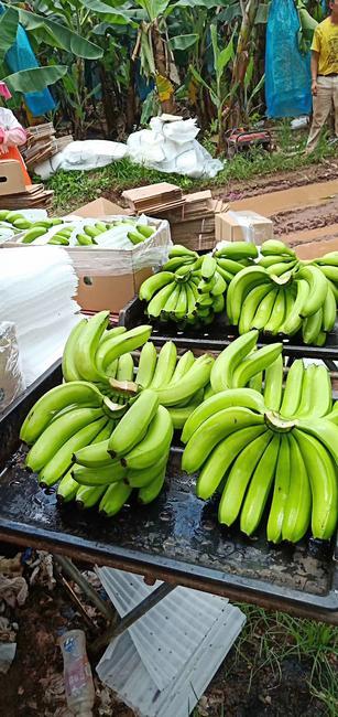 广东香蕉1号 七成熟 40斤以下