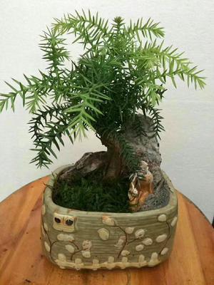 广东省广州市荔湾区澳洲杉小盆景