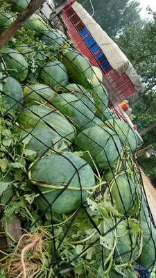 这是一张关于龙卷风西瓜 有籽 1茬 8成熟 8斤打底的产品图片