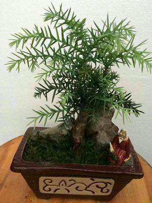 云南省昆明市呈贡区澳洲杉小盆景