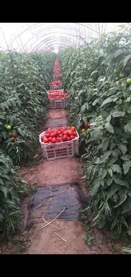 这是一张关于大红硬果 打冷 大红 弧二以上的产品图片