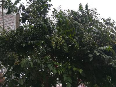 广西壮族自治区桂林市平乐县鸡皮果 扁圆型