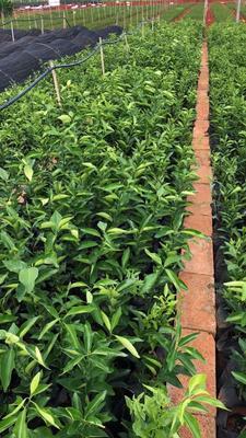 这是一张关于沃柑苗 嫁接苗 0.35~0.5米的产品图片