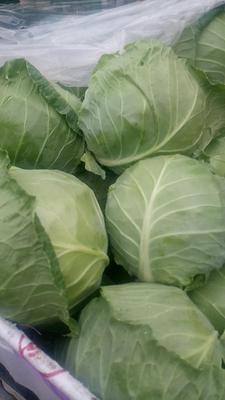 天津武清区卷心包菜 2.5~3.0斤
