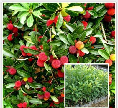 这是一张关于东槐杨梅苗的产品图片