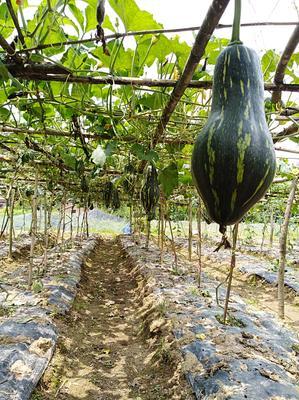 这是一张关于香芋南瓜 0.4~0.6斤 其他的产品图片