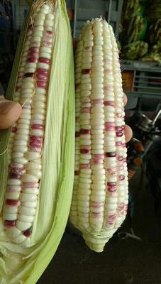 广东省惠州市惠城区糯玉米 花粒 鲜货
