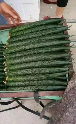 河北省邯郸市丛台区刺黄瓜 25~30cm 干花带刺