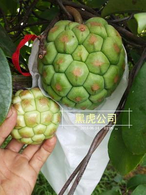 广西壮族自治区南宁市上林县大红 800-850g