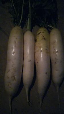 山东省菏泽市单县白萝卜 1~1.5斤