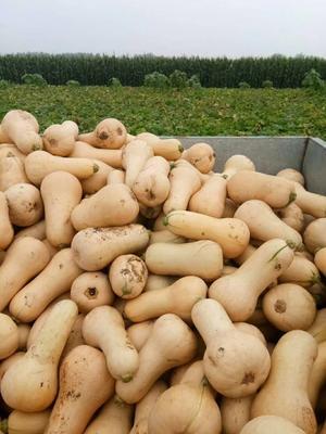这是一张关于奶油南瓜 1~2斤 长条形的产品图片