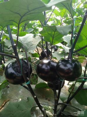 河南省周口市项城市紫光圆茄 5两以上
