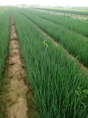 这是一张关于日本钢葱种子 ≥90% 原种(亲本)的产品图片