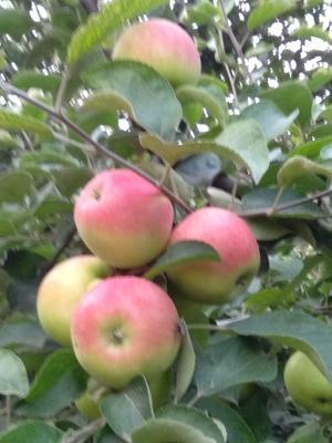 河南省新乡市原阳县华丹苹果 光果 片红 65mm以上