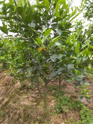 这是一张关于春见柑桔苗 移栽苗 1~1.5米的产品图片
