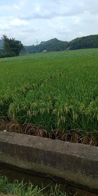 广东省韶关市翁源县杂品种 早稻