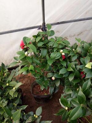 这是一张关于茶花树 30~50cm的产品图片
