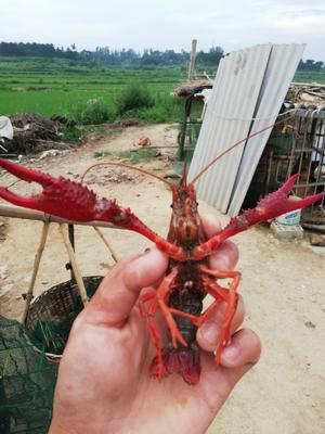 这是一张关于中国龙虾 国产 0.6-0.8斤/只的产品图片