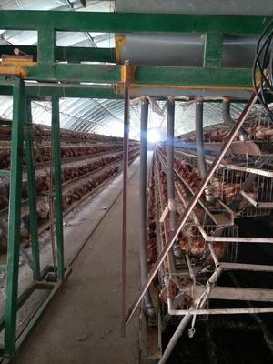 河北省保定市满城县普通鸡蛋 食用 散装
