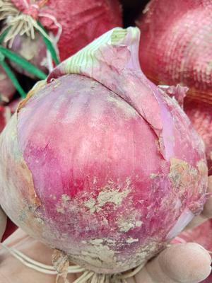 甘肃省白银市靖远县红皮洋葱 8cm以上 红皮 2.5-3两