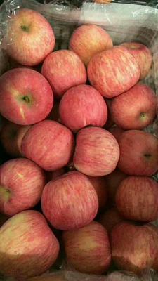 山东省潍坊市安丘市红富士苹果 纸袋 条红 75mm以上