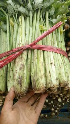 河北省张家口市阳原县西芹 60cm以上 露天种植 0.5~1.0斤
