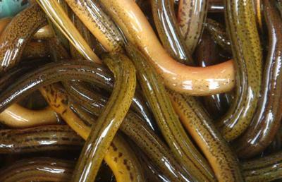 这是一张关于商品黄鳝 人工养殖的产品图片