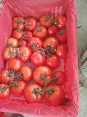 安徽省蚌埠市怀远县大红西红柿 不打冷 大红 通货