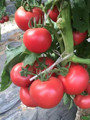 这是一张关于硬粉番茄种子 99% 杂交一级的产品图片