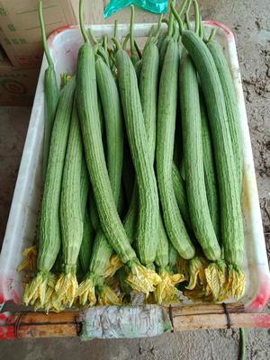 河南省安阳市滑县鲜花丝瓜 30cm以上
