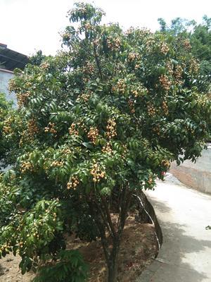 广西壮族自治区钦州市钦北区球形黄皮果 球型